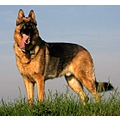 dog germanshepherd
