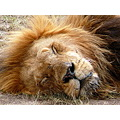 Lion Cat Wildlife Kenya Nature Animal MasaiMara