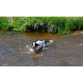 dartmoor rivers dog