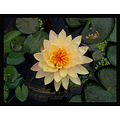 Flower lotus blossom