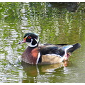 nature water duck