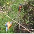 Birds of today nr. 4 Kingfishers in the park.