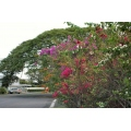 flower bouganvillia hawaii