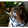 tiger sandiegozoo sandiegoca canon powershot sx20is