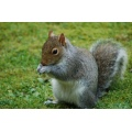 squirrel wildlife garden grey animals close up lovely great fantastic