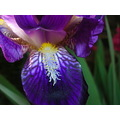 macro closeup iris flower