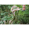 grey squirrel jumping nuts animal wildlife