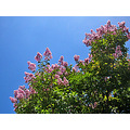 summer tree pink pinkfph bluesky sunlight