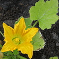 zucchini courgette flower yellow garden