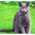 Feline Cat Pet RussianBlue Grey