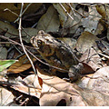 frog reptile toad