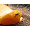ant insect orange peel rubbish adventure Jarrahdale perth littleollie