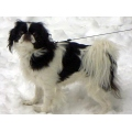 dog dogs japanese chin AKC terrier
