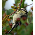 bluetit bird carlsbirdclub bideford devon