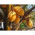 Coconuts Bohol Philippines