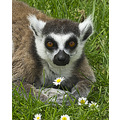 ringtail lemur wildlife