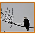 nature bald eagle Dec 2011