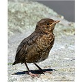 birds blackbird