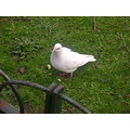 dove bird white green london