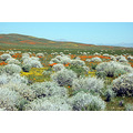 Wild Poppy Fields / Antelope Valley California
