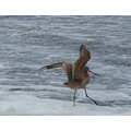 And a-one, and a-two, it's a dancing Marbled Godwit. LOL