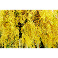 yellow leaves birch