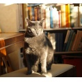 embla cat russianblue