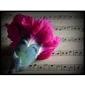 carnation sheet music