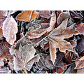 Frosty Winter Leaves Autumn
