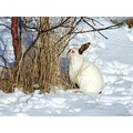 Animals Bunny Easter Iceland