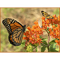 monarch coralhairstreak pearlcrescent butterflyweed butterflies flowers nature