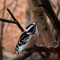 Downy woodpecker female (I think)