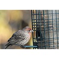 housefinch finch birds Burnaby BC Canada