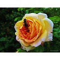 Insekt Rose Alchemist Yellow Orange Pink Skane Sweden June 2014