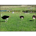 gordonsbay south africa ostriches