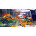 aquarium fish orange red water jet