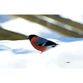 wildlife bird bullfinch
