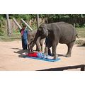 Who wants a Thai Massage with these two elephants? Anyone? That feet is too heavy for the  massag...