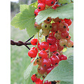 fruit closeup redcurrants