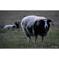sheep animal nature