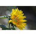 Reifel Delta BC Flowers Sunflowers