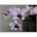 Painted Orchid Have a Blessed Day