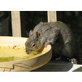 squirrel water birdbath drink