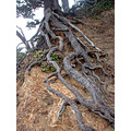 Roots trailing down a cliff's edge at Big River Beach in Mendocino, CA
