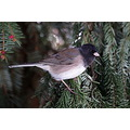 junco birds BC Canada Burnaby