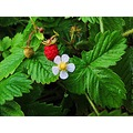 Strawberry Red White Flower Skane Ljungbyhed Sweden 2014