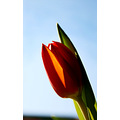 nature flower tulip red green blue sky closeup