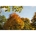 indian summer tress leaves sky