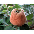 quince fruit tree andalucia spain