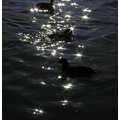 2.  Ducks, geese, swans in abundance - a sparkling array of them for us to see...